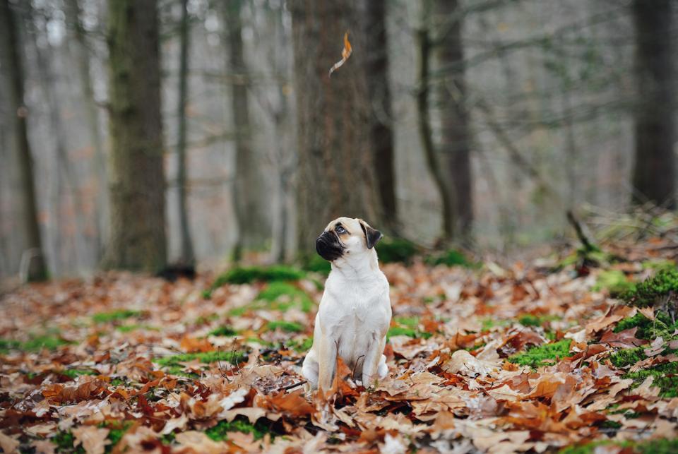 Fotografie Shooting Tiere Haustiere Hund Hunde Welpen 4-Beiner Karlsruhe Ettlingen Rastatt Bretten Bruchsal Pforzheim Mops Möpse 1.png 13