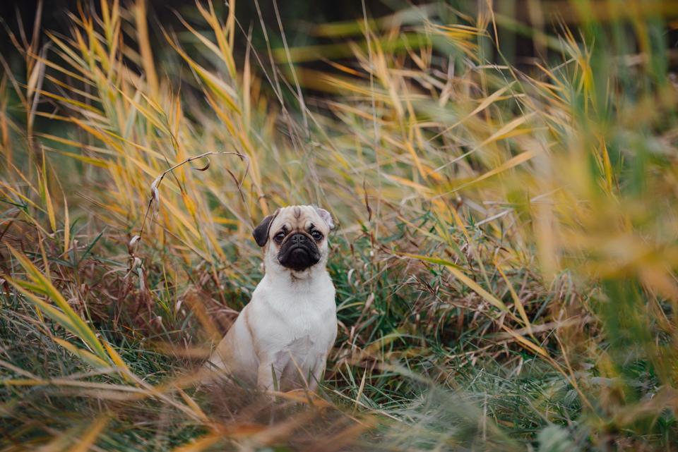 Fotografie Shooting Tiere Haustiere Hund Hunde Welpen 4-Beiner Karlsruhe Ettlingen Rastatt Bretten Bruchsal Pforzheim Mops Möpse 1.png 6