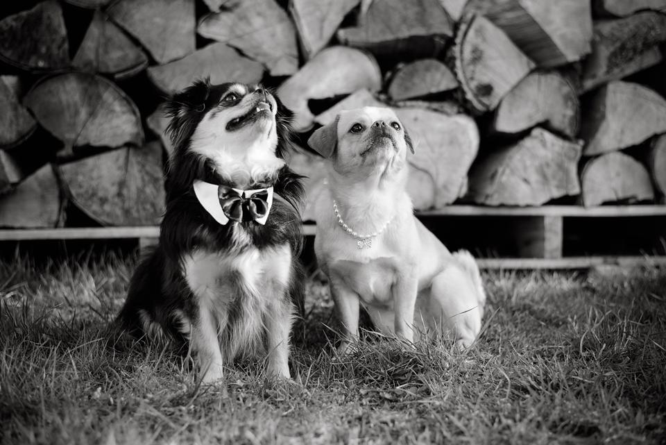 Tierfotografie Haustierfotografie Fotografie Fotograf Fotografin Hund Hunde Hochzeit Hundefotografie Karlsruhe Ettlingen Pforzheim Bretten Bruchsal Rastatt Shooting FS Pekinese Chihuahua Mops 1SW