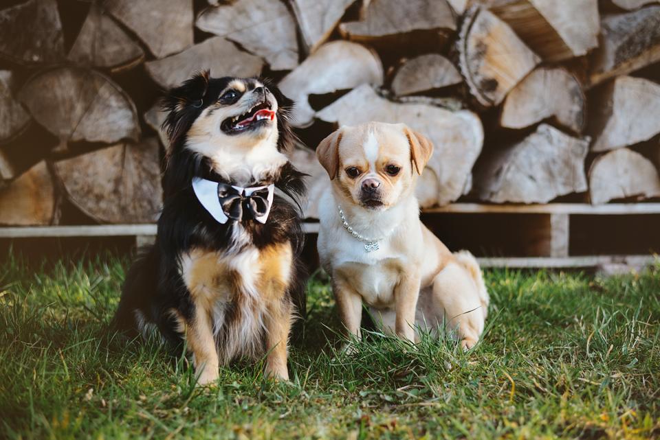 Tierfotografie Haustierfotografie Fotografie Fotograf Fotografin Hund Hunde Hochzeit Hundefotografie Karlsruhe Ettlingen Pforzheim Bretten Bruchsal Rastatt Shooting FS Pekinese Chihuahua Mops 2a
