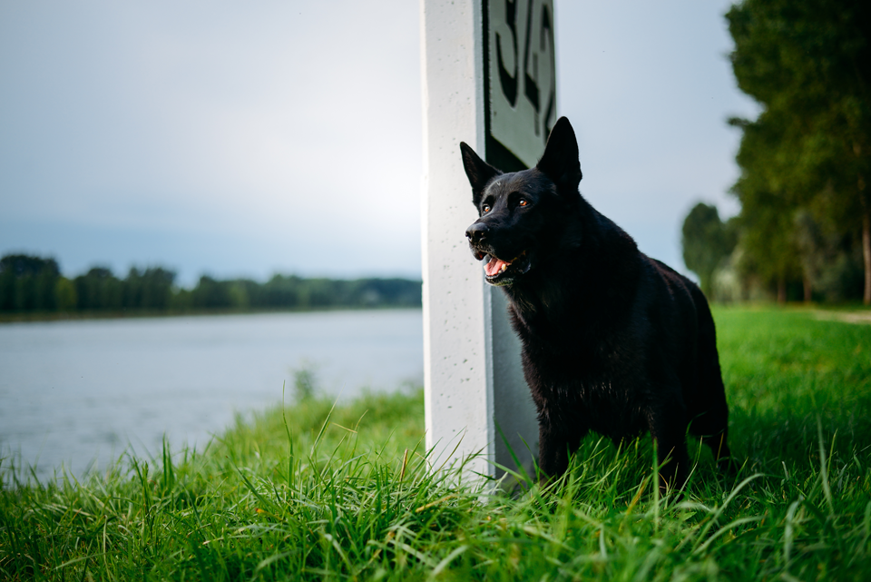 Tierfotografie Haustierfotografie Fotografie Fotograf Fotografin Hund Hunde Hochzeit Hundefotografie Karlsruhe Ettlingen Pforzheim Bretten Bruchsal Rastatt Shooting Schwarzer Schäferhund Deutscher Schäferhund 4