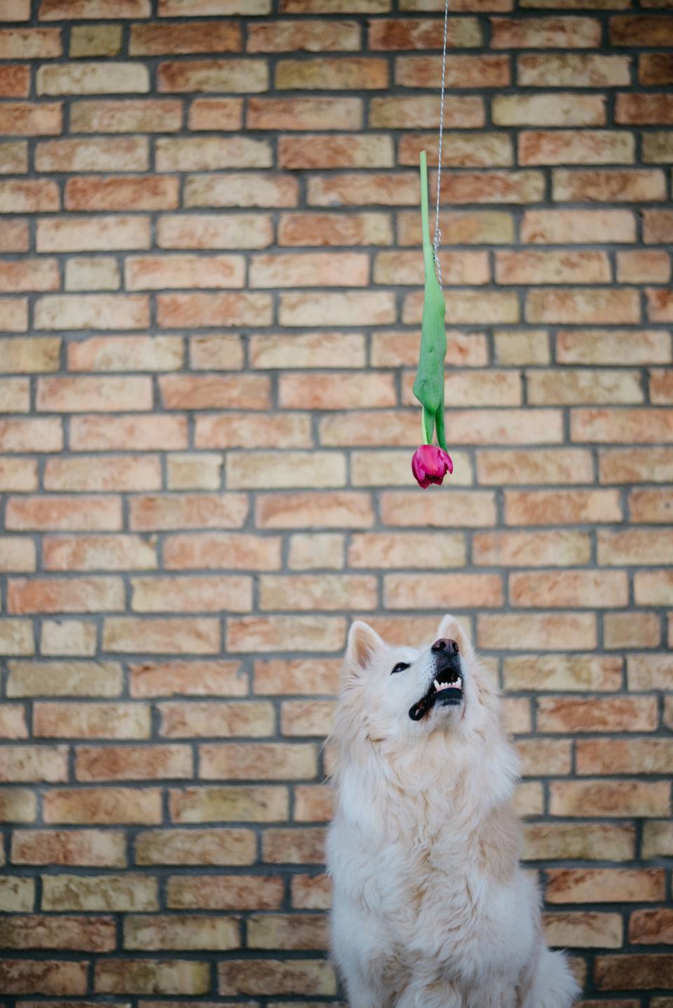 Tierfotografie Haustierfotografie Fotografie Fotograf Fotografin Hund Hunde Hochzeit Hundefotografie Karlsruhe Ettlingen Pforzheim Bretten Bruchsal Rastatt Shooting Elo Großelo Eurasier Chow Chow Bobtail Glatthaar Rauhaar Familienhund Mischling Spanien Straßenhund Tierschutz Valentinstag Tulpe Blume 14