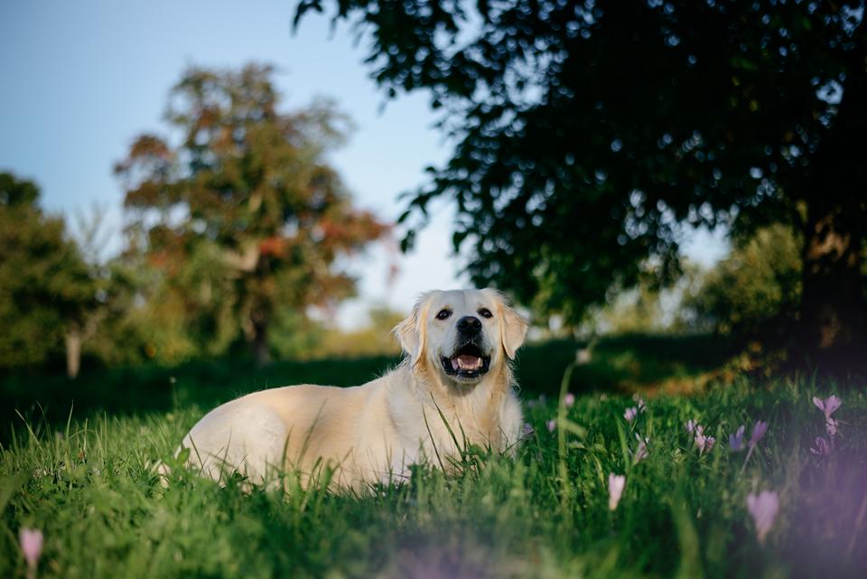 Tierfotografie Haustierfotografie Fotografie Fotograf Fotografin Hund Hunde Hochzeit Hundefotografie Karlsruhe Ettlingen Pforzheim Bretten Bruchsal Rastatt Shooting Enzkreis Labrador Golden Retriever Goldie 4